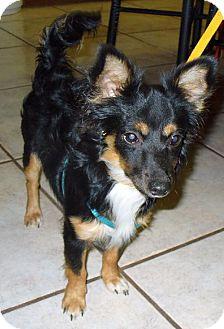 Chihuahua/Dachshund Mix Dog for adoption in Phoenix, Arizona - Guinness