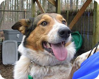 Collie Mix Dog for adoption in Island Heights, New Jersey - Max