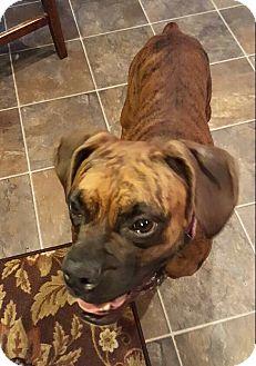 Boxer Mix Dog for adoption in Jacksonville, North Carolina - Laila