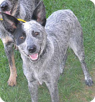 Australian Cattle Dog Mix Dog for adoption in Fruit Heights, Utah - Jill
