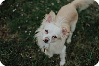Pomeranian/Chihuahua Mix Dog for adoption in Norman, Oklahoma - Tracker