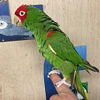 Conure for adoption in Woodbridge, New Jersey - Jiffy