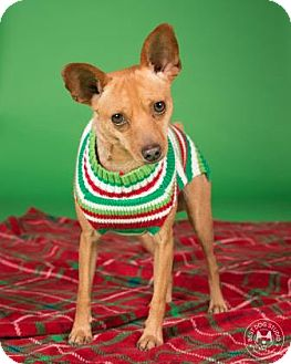 Chihuahua Mix Dog for adoption in Northbrook, Illinois - Brownies