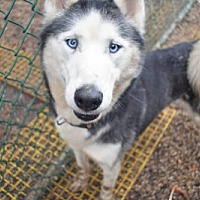 Siberian Husky Dog for adoption in Matawan, New Jersey - Sunshine