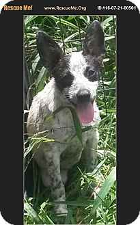 Boston Terrier/Australian Cattle Dog Mix Puppy for adoption in East Hartford, Connecticut - Trouble
