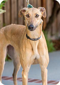 Greyhound Dog for adoption in Walnut Creek, California - Twitter