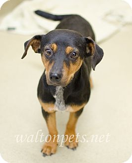 Dachshund/Mixed Breed (Small) Mix Dog for adoption in Monroe, Georgia - Nilee