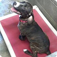 Adopt A Pet :: Betsy - Trenton, NJ