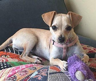 Chihuahua Mix Dog for adoption in San Diego, California - Chiquita