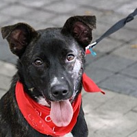 Adopt A Pet :: Chino - Rockville, MD