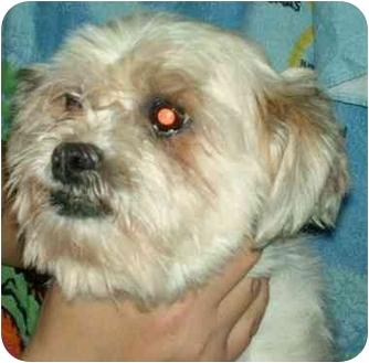 Lhasa Apso Mix Dog for adoption in Elwood, Illinois - Cher