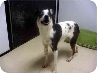 Cattle Dog Mix Dog for adoption in Manassas, Virginia - Frost