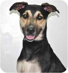 Shepherd (Unknown Type) Mix Dog for adoption in Port Washington, New York - Montana