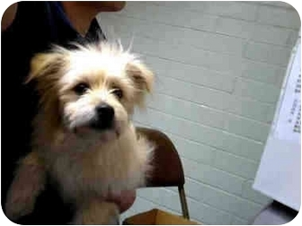 Terrier (Unknown Type, Small) Mix Puppy for adoption in Sacramento, California - Carter !