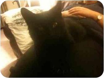 Bombay Cat for adoption in Medford, Massachusetts - Gus