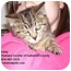 Photo 2 - Domestic Shorthair Kitten for adoption in Somerset, Pennsylvania - Perry Patsy Penny
