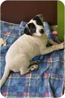 Labrador Retriever/Border Collie Mix Puppy for adoption in Cumming, Georgia - Panda