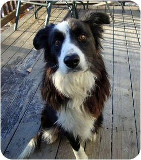 Border Collie Dog for adoption in Denver, Colorado - Trey