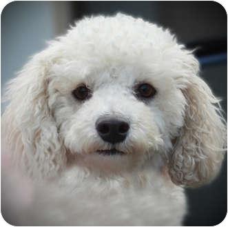 Bichon Frise Dog for adoption in La Costa, California - Mischa