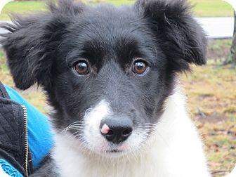 Border Collie/Sheltie, Shetland Sheepdog Mix Puppy for adoption in Washington, D.C. - Pandora