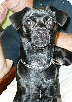 Terrier (Unknown Type, Small) Mix Dog for adoption in Eastpoint, Florida - Lil Man