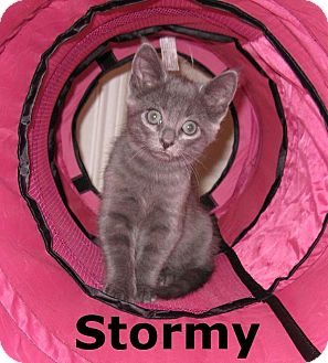 Russian Blue Kitten for adoption in Arlington/Ft Worth, Texas - Stormy