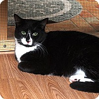 Domestic Shorthair Cat for adoption in Ocean City, New Jersey - Bootsie