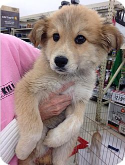 Great Pyrenees Mix Puppy for adoption in Homer, New York - Molly