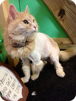 Domestic Longhair Cat for adoption in Somerset, Pennsylvania - Kit Kat