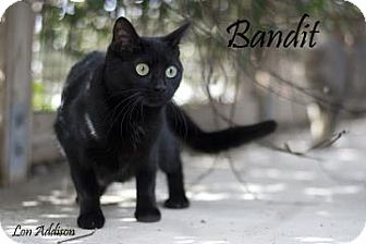 Domestic Shorthair Cat for adoption in Belle Chasse, Louisiana - Princess Bandit