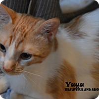 Adopt A Pet :: Yaya - Chicago, IL