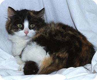Domestic Longhair Kitten for adoption in Sacramento, California - Chloe M