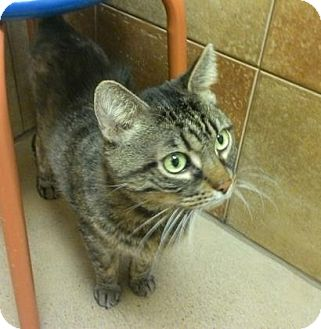 Domestic Shorthair Cat for adoption in Cleveland, Ohio - Mingus