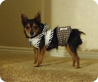 Yorkie, Yorkshire Terrier/Chihuahua Mix Dog for adoption in Ogden, Utah - tiger