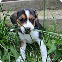 Adopt A Pet :: Monkey - Bedminster, NJ