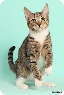 Domestic Shorthair Cat for adoption in Las Vegas, Nevada - Zambia