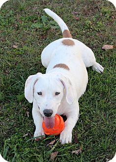 Basset Hound Mix Puppy for adoption in Allentown, Pennsylvania - Kadee