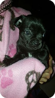 Pug/French Bulldog Mix Puppy for adoption in Orland Park, Illinois - P3