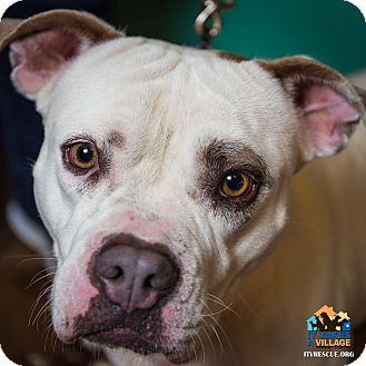 American Bulldog Mix Dog for adoption in Evansville, Indiana - Suzie Q