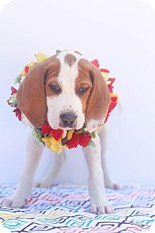 Coonhound/Labrador Retriever Mix Puppy for adoption in Auburn, California - Xena