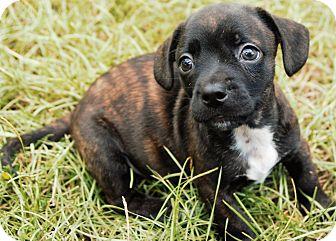 Boston Terrier/Dachshund Mix Puppy for adoption in Courtland, Alabama - Brave