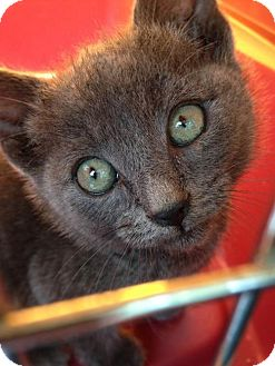 Russian Blue Kitten for adoption in Corona, California - ASHLEY