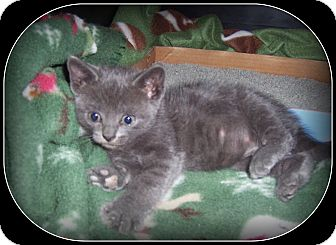 Domestic Shorthair Kitten for adoption in South Plainfield, New Jersey - COOKIE - And just as sweet!!