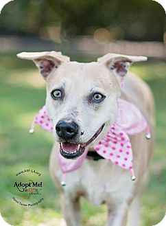Catahoula Leopard Dog Mix Dog for adoption in Lafayette, Louisiana - Cookie