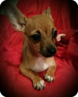 Chihuahua Mix Dog for adoption in Allentown, Pennsylvania - Maya