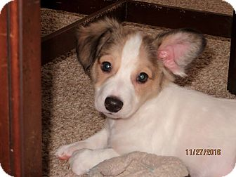 Rat Terrier/Shih Tzu Mix Puppy for adoption in Aiken, South Carolina - Mr. Magoo