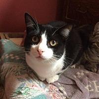 Adopt A Pet :: Hilary (FeLV+) - Ann Arbor, MI