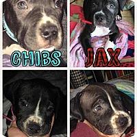 Adopt A Pet :: Jax - Livermore, CA