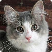Adopt A Pet :: Dorito - Troy, MI