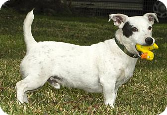 Jack Russell Terrier Dog for adoption in Santa Fe, Texas - Maxx!--all things Jack--adorable----_S